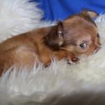 беременность у собак